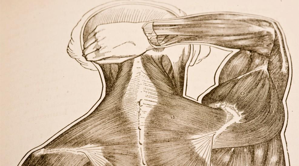 Schultermuskulatur - alles Wichtige zu den Schultermuskeln